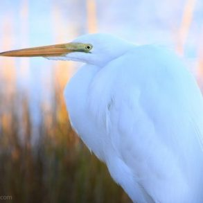 inset-egret-matt-tidball
