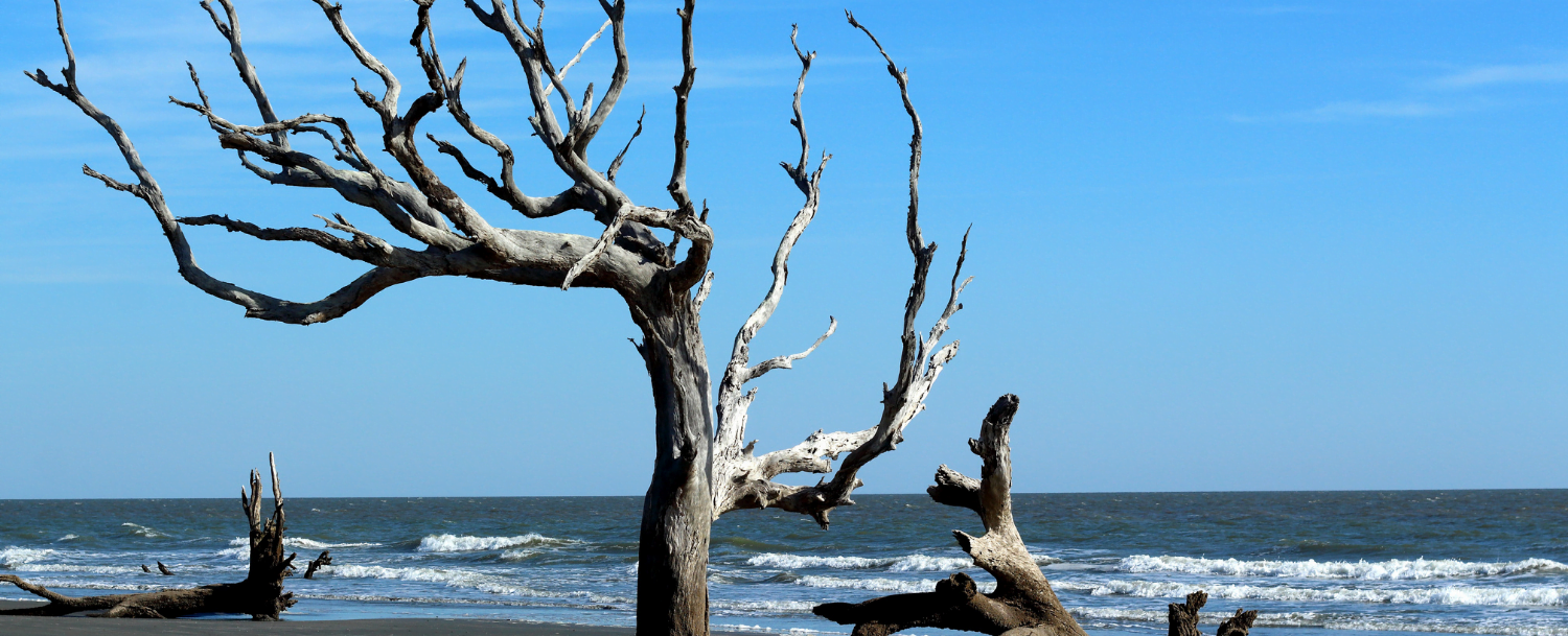 hiking-on-Amelia-Island Boneyard Beach cedar tree