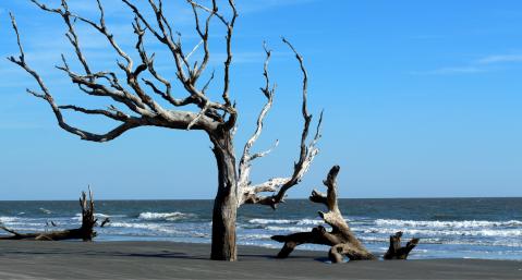 hiking-on-Amelia-Island Boneyard Beach cedar tree